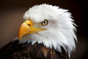 PSA HM Ribbons - Albert Peer (Austria)  American Eagle