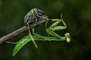 EGIPC Bronze Medal - Foo Say Boon (Malaysia)  Mantis In Action 2